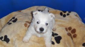 West Highland White Terrier Welpen