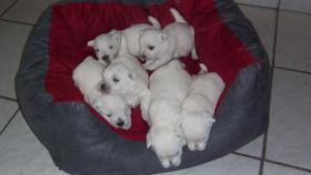 Foto 2 West Highland White Terrier Welpen