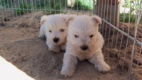 Foto 3 West Highland White Terrier Welpen