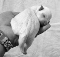 Foto 2 West Highland White Terrier Welpen