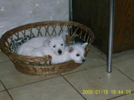 West-Highland-White-Terrier Welpen