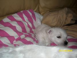 West Highland White Terrier Welpen / Westi Welpen