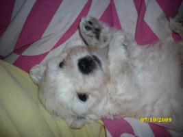 Foto 3 West Highland White Terrier Welpen / Westi Welpen