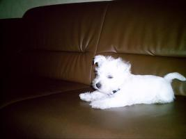West-Highland White Terrier Welpen ( Westies)