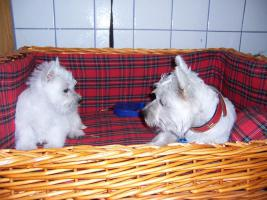 West-Highland-White Terrier (Westie)