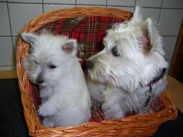 Foto 2 West-Highland-White Terrier (Westie)