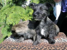 Foto 4 West-Highland-White-Terrier/Zwergpinscher-Mischlingswelpen