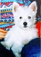 Westhighland Terrier Welpen nur in allerbeste Hände mit Stammbaum !