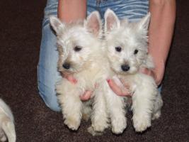 Foto 2 Westi-Terrier Welpen zu verkaufen