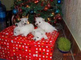 Foto 2 Westie Welpen zu verkaufen
