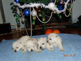 Foto 3 Westie Welpen zu verkaufen