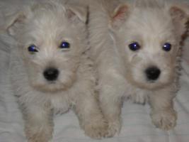 Foto 4 Westie Welpen zu verkaufen