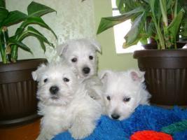 Foto 6 Westie Welpen zu verkaufen