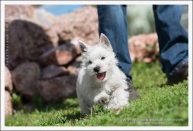 Westy terrier welpen zu verkaufen