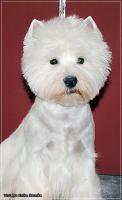 Foto 4 Westy terrier welpen zu verkaufen