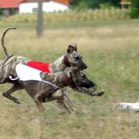 Foto 3 Whippet Windhunde zum Verkauf
