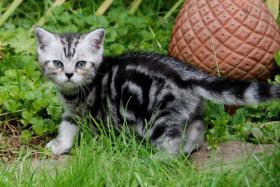 Foto 5 Whiskas- Kitten Silvertabby BKH Britisch Kurzhaar abzugeben