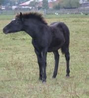Wie oft wird so ein Ponyhengst geboren?