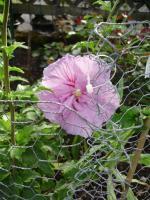 Winterhart Hibiscus -rosa farbe