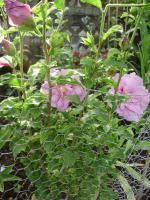 Foto 2 Winterhart Hibiscus -rosa farbe