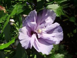 Winterhart hibiscus blau