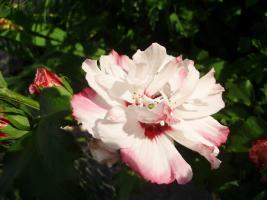 Winterhart hibiscus weiss / pink