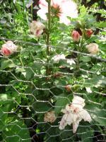 Foto 2 Winterhart hibiscus weiss / pink