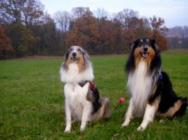 Wir bekommen American Collie Welpen!!!! (Collies of American Stars and Stripes)