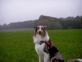 Foto 2 Wir bekommen American Collie Welpen!!!! (Collies of American Stars and Stripes)