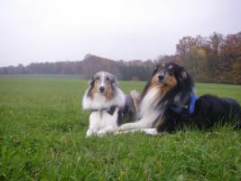 Foto 7 Wir bekommen American Collie Welpen!!!! (Collies of American Stars and Stripes)