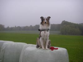 Foto 9 Wir bekommen American Collie Welpen!!!! (Collies of American Stars and Stripes)