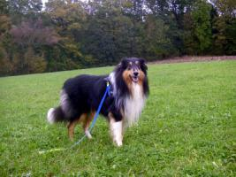 Foto 10 Wir bekommen American Collie Welpen!!!! (Collies of American Stars and Stripes)