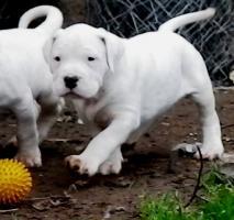 Foto 2 Wir empfangen die Reservationen fuer Dogo Argentino Welpen.
