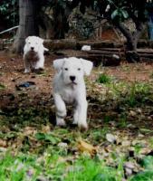 Foto 3 Wir empfangen die Reservationen fuer Dogo Argentino Welpen.