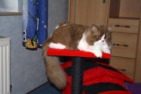 Wir erwarten Britisch Langhaar Katzenbabys