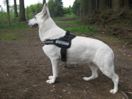Wir erwarten im Juni aus TOP Verpaarung Weisse Schweizer Sch�ferhundwelpen