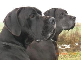 Wir erwarten Mitte - April 2012 Welpen in den Farben: Schwarz & Blau !
