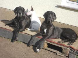 Foto 27 Wir erwarten Mitte - April 2012 Welpen in den Farben: Schwarz & Blau !