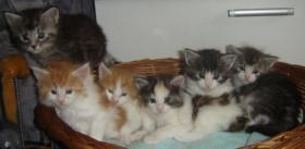 Wir haben 5 s�sse Maine Coon Babys abzugeben!!!