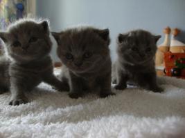 Foto 5 Wir haben BKH-Babys