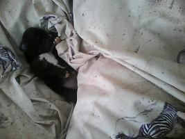Foto 2 Wir haben Deutsche Doggenbabys bekommen..