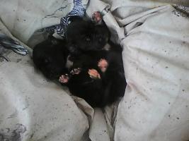 Foto 3 Wir haben Deutsche Doggenbabys bekommen..