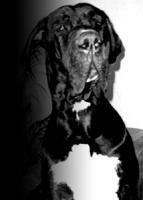 Foto 7 Wir haben Deutsche Doggenbabys bekommen..