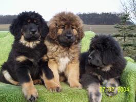 Foto 5 Wir haben Do-Khyi (Tibet Doggen) Welpen