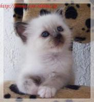 Foto 2 Wir haben Heilige Birma Katzenbabys!