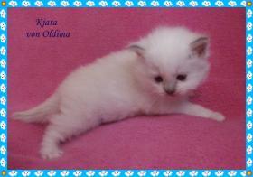 Foto 4 Wir haben Heilige Birma Katzenbabys!