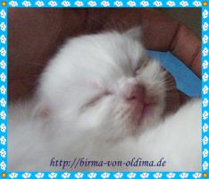 Foto 5 Wir haben Heilige Birma Katzenbabys!