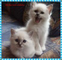 Wir haben Heilige Birma Katzenbabys!