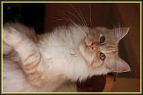 Foto 2 Wir haben Kitten aus liebevoller Hobbyzucht