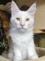 Wir haben Maine Coon Kitten in tollen Farben abzugeben!!